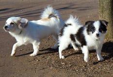 Petits chiens. Photo libre de droits