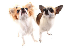 petits chiens de chiwawa d'isolement Image stock