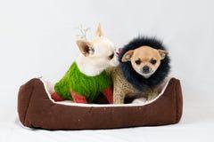 Petits chiens de pure race Photos stock