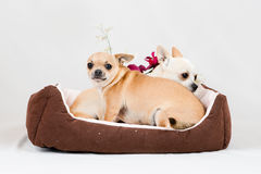 Petits chiens de pure race Photos libres de droits
