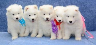 petits chiens de traîneau blancs Photo libre de droits