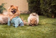 Petits chiens marchant sur l'herbe photo stock