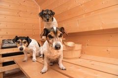 Petits chiens mignons dans le sauna - terrier de Russell de trois crics photographie stock libre de droits