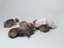 Petits chiots Photos stock