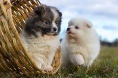 Petits chiots Chiots de Pomeranian jouant le PS outdoorPomeranian Image libre de droits