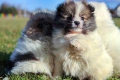 Petits chiots Chiots de Pomeranian jouant le PS outdoorPomeranian Photos stock