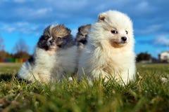 Petits chiots Chiots de Pomeranian jouant le PS outdoorPomeranian Photographie stock