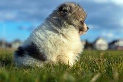 Petits chiots Chiots de Pomeranian jouant le PS outdoorPomeranian Photographie stock libre de droits