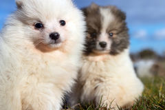 Petits chiots Chiots de Pomeranian jouant le PS outdoorPomeranian Images libres de droits