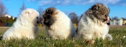 Petits chiots Chiots de Pomeranian jouant le PS outdoorPomeranian Image stock