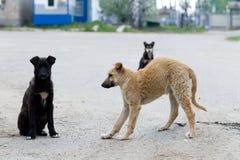 Petits chiots des chiens égarés Image libre de droits