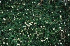 Petits chrysanthèmes avec le fond d'herbe verte Photographie stock