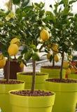 Petits citronniers s'élevant sur les pots jaunes Photo libre de droits