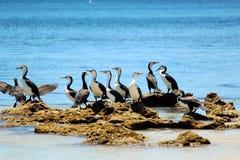 Petits cormorans pies sur les roches moussues Image stock