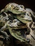 Petits crocodiles se reposant et empilés Photographie stock