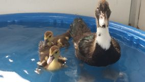 3 petits duckys Photographie stock