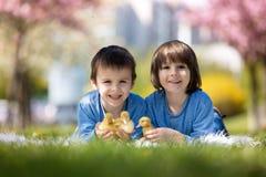 Petits enfants mignons, frères de garçon, jouant avec le sprin de canetons Image stock