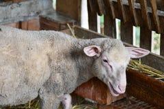 Petits et mignons moutons Images stock
