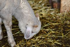 Petits et mignons moutons Photographie stock