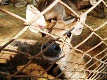 Petits faon/cerfs communs dans la cage Image stock