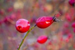 Petits fruits effrontés images stock