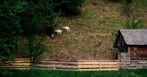 Petits goatlings frôlant l'herbe dans les montagnes carpathiennes en automne dans le ralenti banque de vidéos