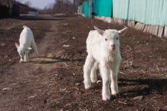 Petits goatlings gentils blancs explorant le monde photographie stock