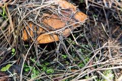 Petits graisseurs comestibles de champignon sous des aiguilles de forêt Photos libres de droits