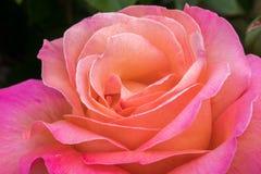Petits groupes d'une tête de fleur de Rose Photographie stock