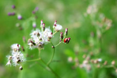 Petits insectes rouges avec l'herbe fleurissante Photographie stock libre de droits
