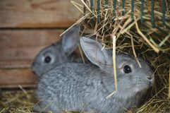 Petits lapins à notre ferme de famille images libres de droits