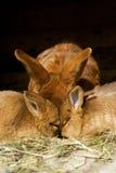 Petits lapins image libre de droits