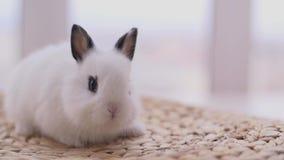 Petits lapins décoratifs mignons dans le studio de photo banque de vidéos