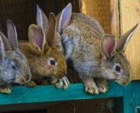 Petits lapins Lapin dans la cage ou l'huche de ferme Lapins c d'élevage Images stock
