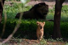 Petits Lion Cub et lion mignons à l'arrière-plan Image libre de droits