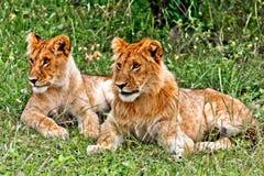 Petits lion et lionne Image stock