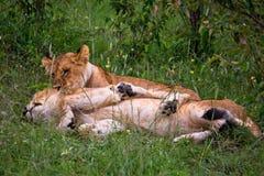 Petits lion et lionne Images libres de droits
