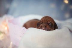 Petits morveux nouveau-nés de petit ridgeback mignon Photo stock