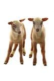 Petits moutons Photographie stock libre de droits