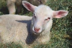 Petits moutons d'agneau dans des animaux d'élevage de foin Photo libre de droits