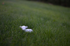 Petits moutons dans l'herbe Photographie stock
