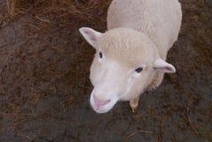 Petits moutons dans une ferme Photo libre de droits