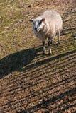 Petits moutons de texel marchant par la frontière de sécurité Images libres de droits