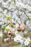 Petits oeufs de pâques beiges accrochant sur les branches d'un cerisier de floraison Photographie stock libre de droits