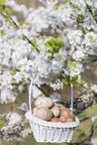 Petits oeufs de pâques beiges dans un panier accrochant sur les branches d'un cerisier de floraison Photographie stock libre de droits