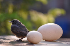 Petits oiseau et oeufs Photos libres de droits