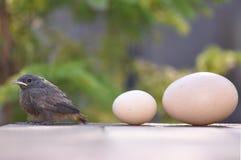 Petits oiseau et oeufs Photo libre de droits