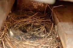 Petits oiseaux de moineau de bébé dans le détail de macro de nid Photo stock