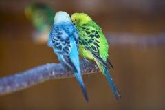 Petits oiseaux de perroquets, bleu et vert lumineux, se reposant sur la branche d'arbre sur le fond brouillé de l'espace de copie photos libres de droits