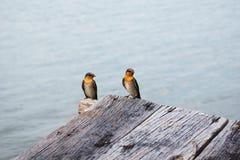 Petits oiseaux jumeaux images libres de droits